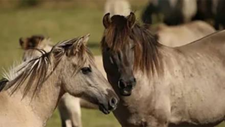 ВИДЕОФАКТ: Лошади в Налибокской пуще выстраиваются в очередь, чтобы их погладили. Посмотрите, какие милые